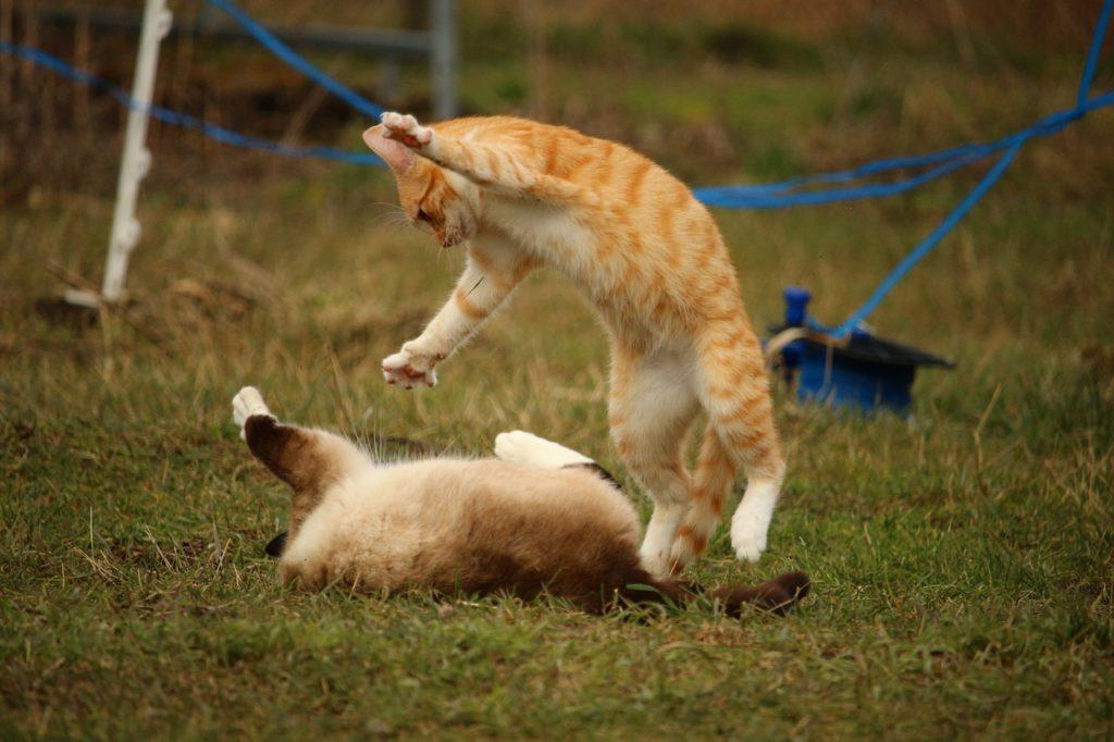 cat, siamese cat, play