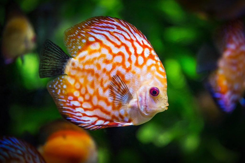 discus fish, fish, fauna
