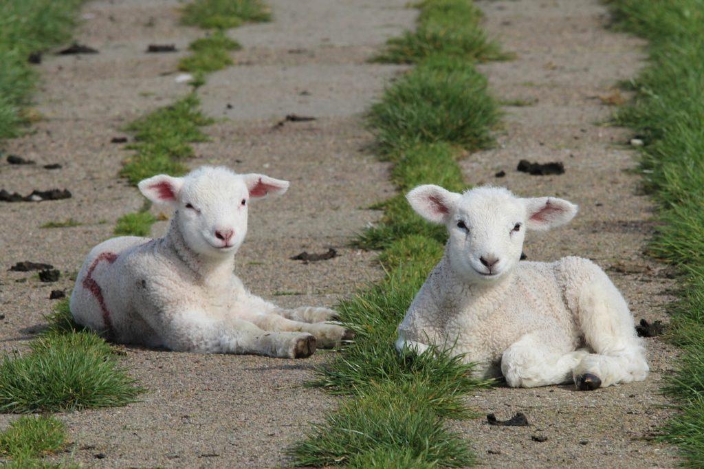 lambs, sheep, animal