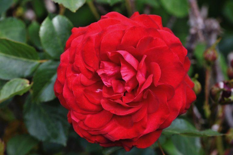 rose, rose bloom, garden rose